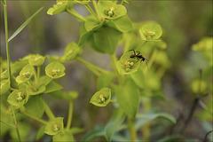 Euphorbia characias e formiga