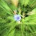 Kornblumen Kreisel