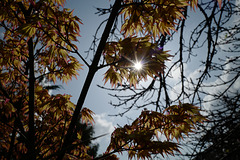 Maple & sun, variations