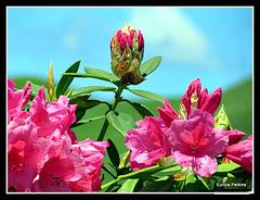 Camellia .