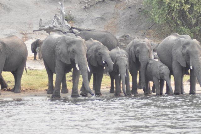 Dume, la elefantaro spektas... Ĉobe Nacia Parko