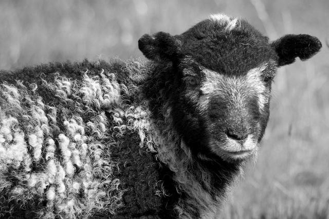 Herdwick Lamb in monochrome