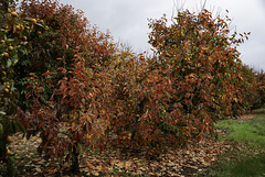 Persimmon trees on the turn.