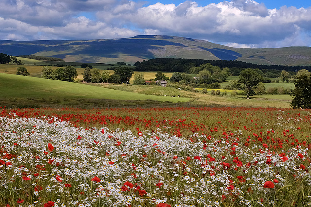 Dog Daisies & Poppies in Cumbrian Barley Field
