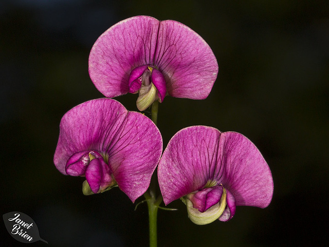 Wild Sweet Peas at Stub Stewart, Fires, Smoke, and More! (+9 insets!)