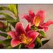 Oriental Pico Lily Topaz Filter