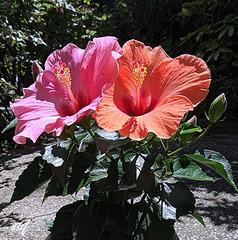 1 plant 2 colors