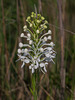 Platanthera conspicua (Southern White Fringed orchid)