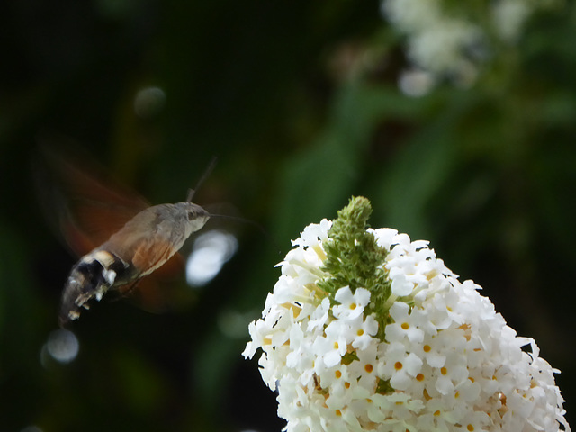 Macroglossum stellatarum et Boudleia
