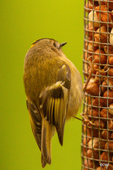 If anyone tells you a Goldcrest is exclusively an insectivore...