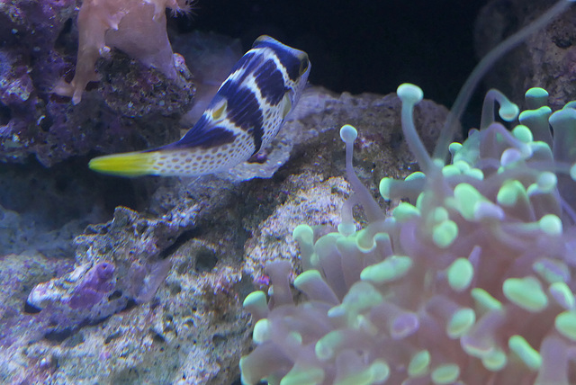 Canthigaster à selle (Canthigaster valentini) (Pacifique sud, mer Rouge, océan indien)