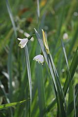 Nivéole de printemps- Leucojum vernum