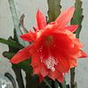 IMG 1466 Fleur de cactus (blog)