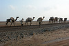 Ethiopia, Danakil Depression, Camel Caravan for the Transportation of Salt Mined in the Karum Salt Marshes