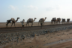Ethiopia, Danakil Depression, Camel Caravan for the Transportation of Salt Mined in the Karum Salt Marshes