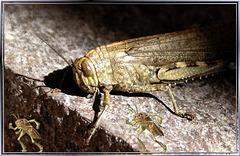 Heuschrecken small-talk über diese Paparazzi... Locusts smalltalk about these paparazzi... ©UdoSm