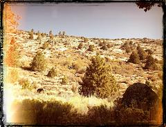 Western junipers