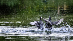 Eurasian Coot Fight
