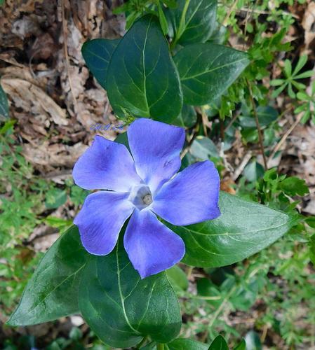Fleur bleue...Un peu...