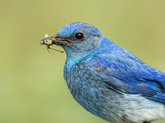 Mountain Bluebird with food for his babies