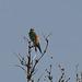 20170516 2767VRTw [A] Bienenfresser (Merops apiaster), Neusiedler See, [Oslib-Rust]