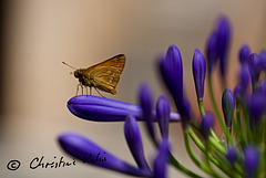 butterfly on agapanthus