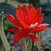 IMG 1477 Cactus en fleur (blog)