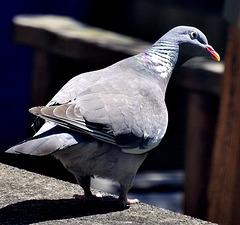 Pigeon poser.