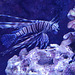 Rascasse volante ou poisson-scorpion