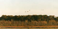 Sandhill Cranes over the Big Marsh