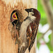 House Sparrow feeding babies in cavity