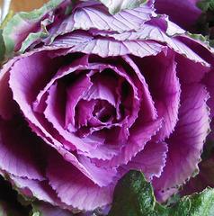 Mon chouchou !!! Decorative cabbage