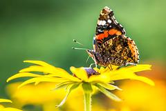 Schmetterling - 20170818