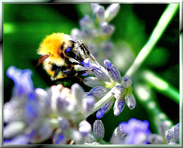 Hummel am Lavendel... ©UdoSm