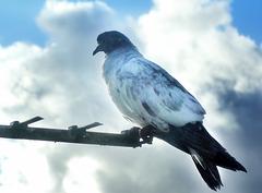 Feral pigeon.