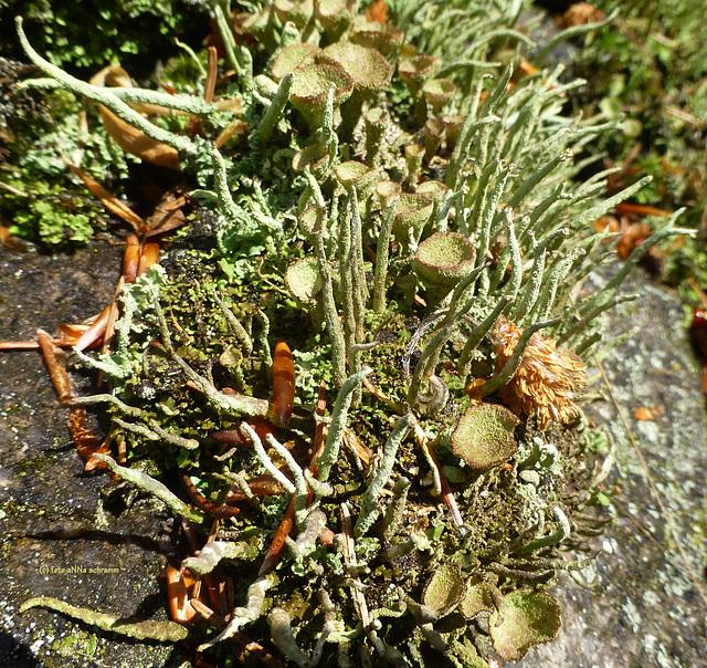 Trompetenflechte (Cladonia fimbriata)
