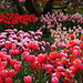 Ein wogendes Meer voller Tulpen