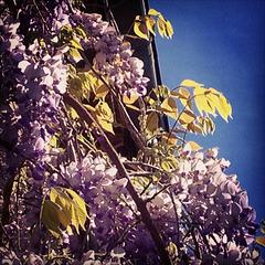 My wisteria:)