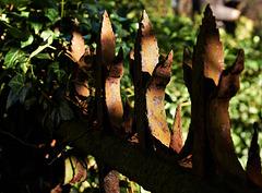 Ripe Rust