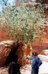 Fig tree in Wadi Rum desert.