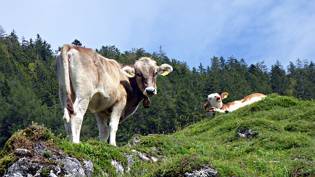 ...die lachende Kuh