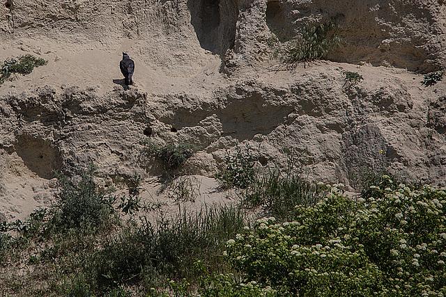 20170516 2774VRTw [A] Dohle (Corvus monedula), Neusiedler See, [Oslib-Rust]