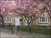 Cowley Road blossom