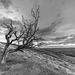The peak of  'Win hill' .. through ye' olde' tree.
