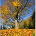Golden autumn carpet