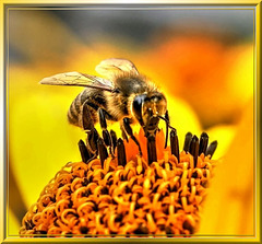Bee drinks a last sip... ©UdoSm