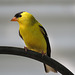 American Goldfinch male / Spinus tristis