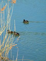 Canards sur le Rhône