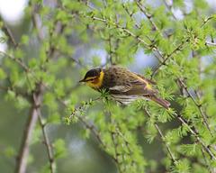 paruline tigrée / Cape May warbler