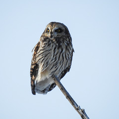 Short-eared Owl out on a tree limb